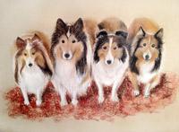 Sheltie Dogs